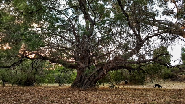 One of the amazing trees on the course grounds
