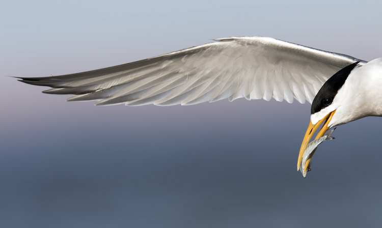 Crested-Tern-Bald-Hill-BPOTY