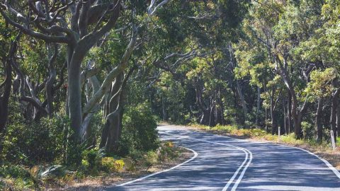 A detailed eucalypt family tree helps us see how they came to dominate Australia