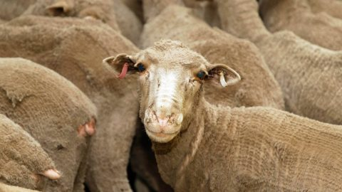 The ban on live sheep exports has just been lifted. Here's what's changed
