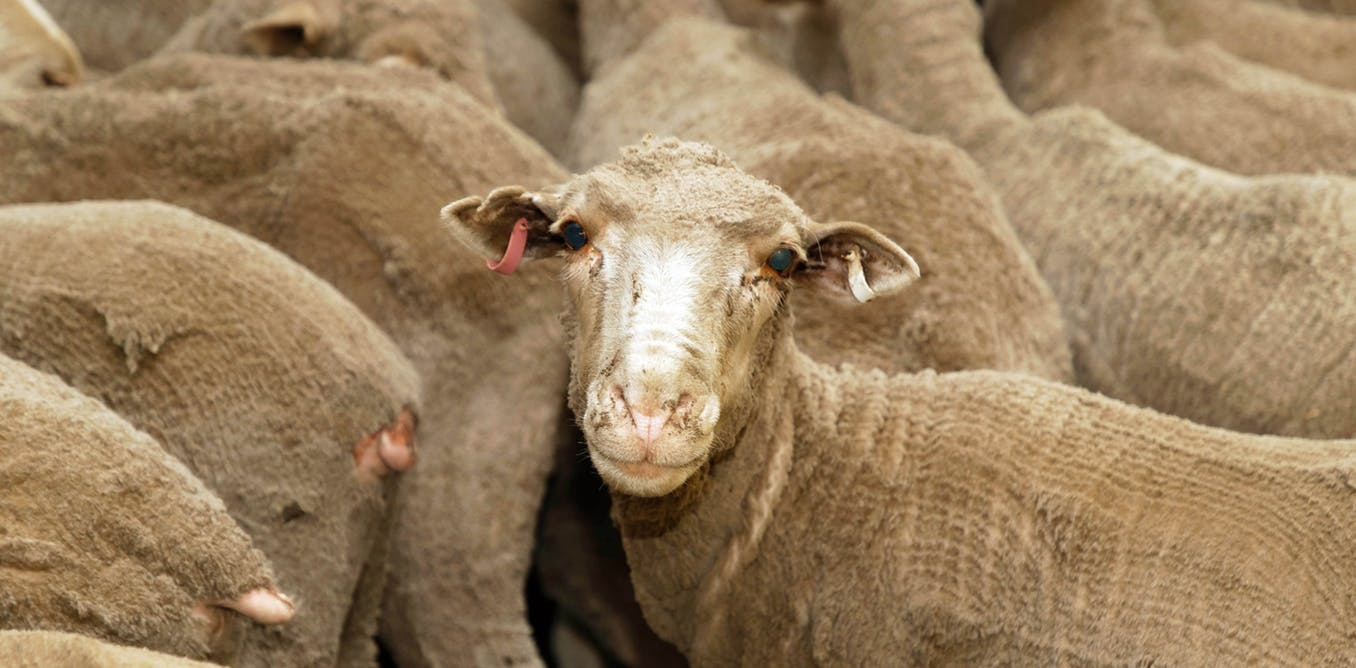 The ban on live sheep exports has just been lifted.
