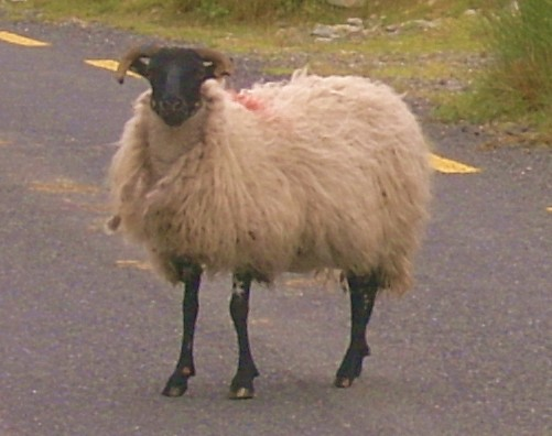 thumbnail_black faced sheep on the road to Croagh Patrick