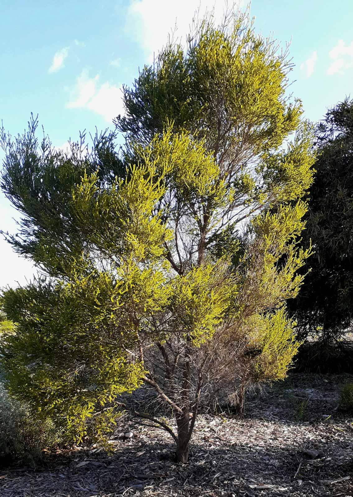 Chenille Honey Myrtle (Melaleuca huegelii)