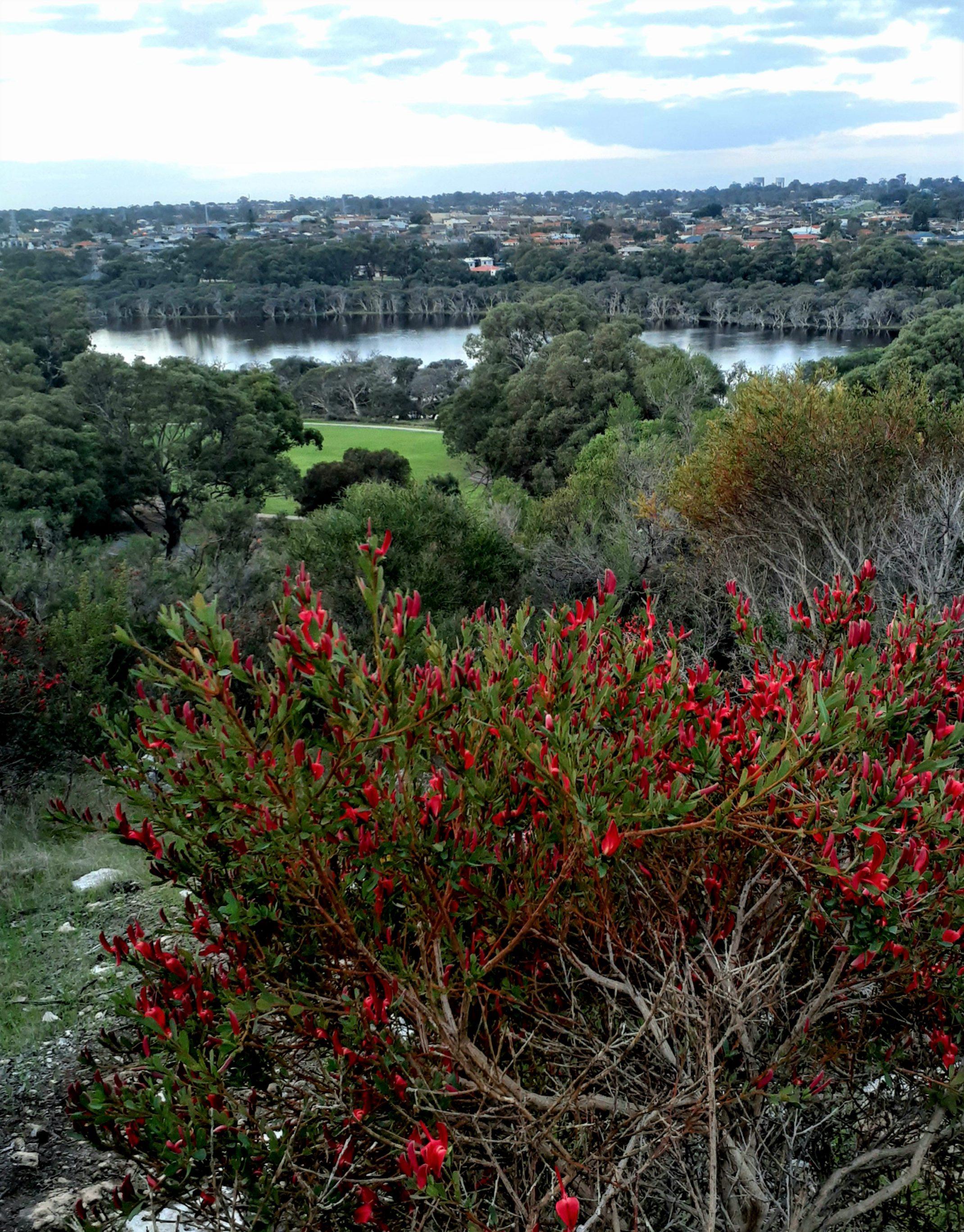 Templetonia retusa_Manning Lake