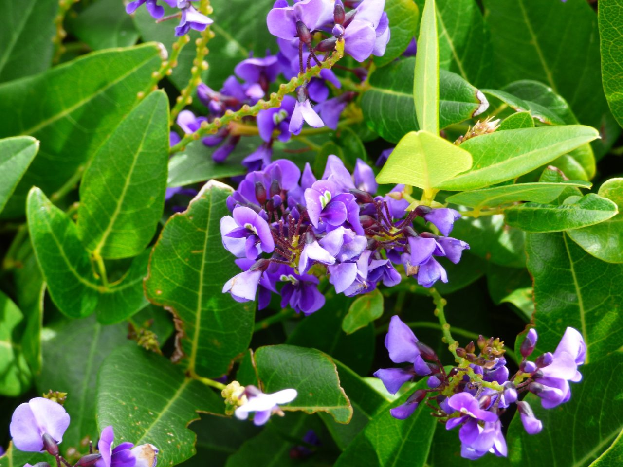 Hardenbergia in bloom during late August. Listen to the mystery of how these plants appeared in an English garden years before European colonization of the Swan River