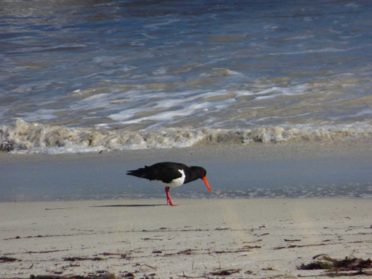 Oystercatcher at Coogee